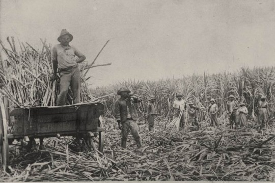 South Sea Islanders labourers loading cut sugar cane into a wagon Queensland