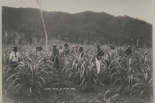 Overseer standing with the cane workers at the Hambledon Sugar plantation