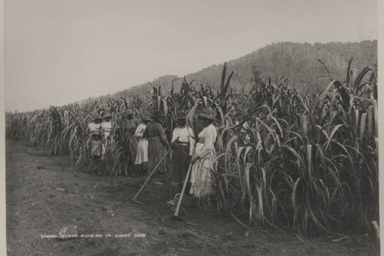Australian South Sea Islander women working in the cane fields Hambledon Mill ca 1890