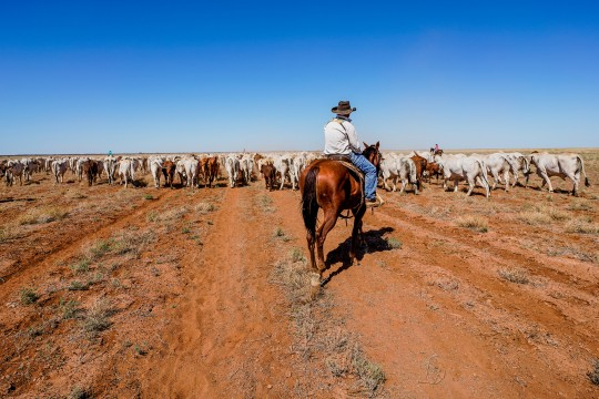 Zach Weir mustering cattle Davenport Downs Station 22 March 2020