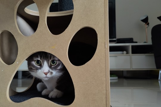 cat peering at camera while hiding in mdf box with paw-print shaped cutout