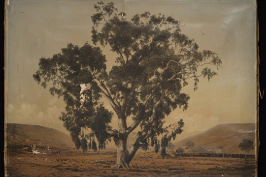 Artwork Red Gum Tree by Richard Daintree