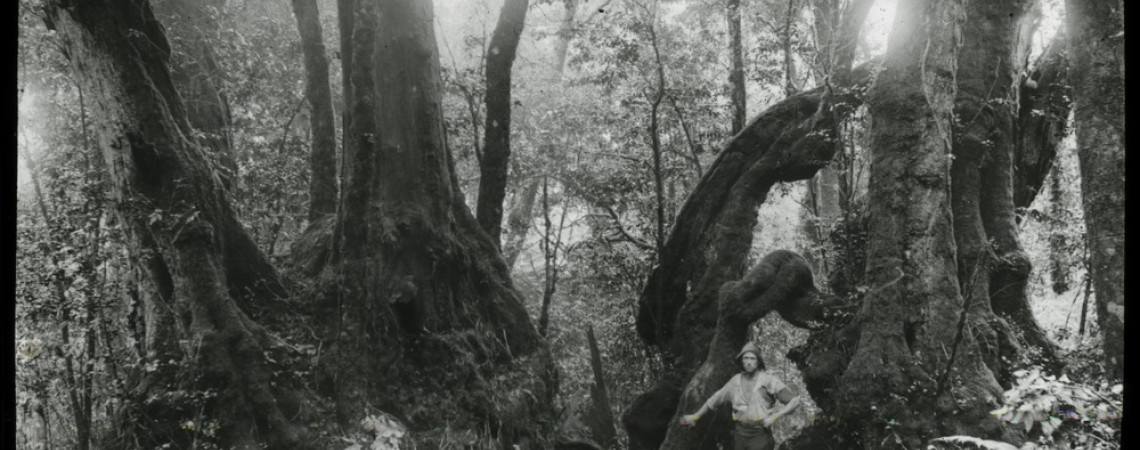 Man standing in forest with Antarctic beech trees in Lamington National Park Queensland 1909-1915