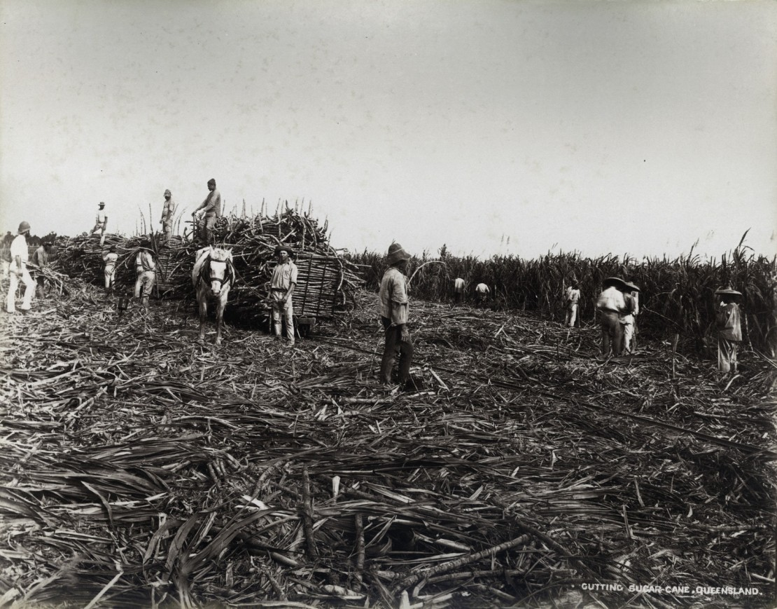 Workers cutting cane in the Cairns district ca 1890