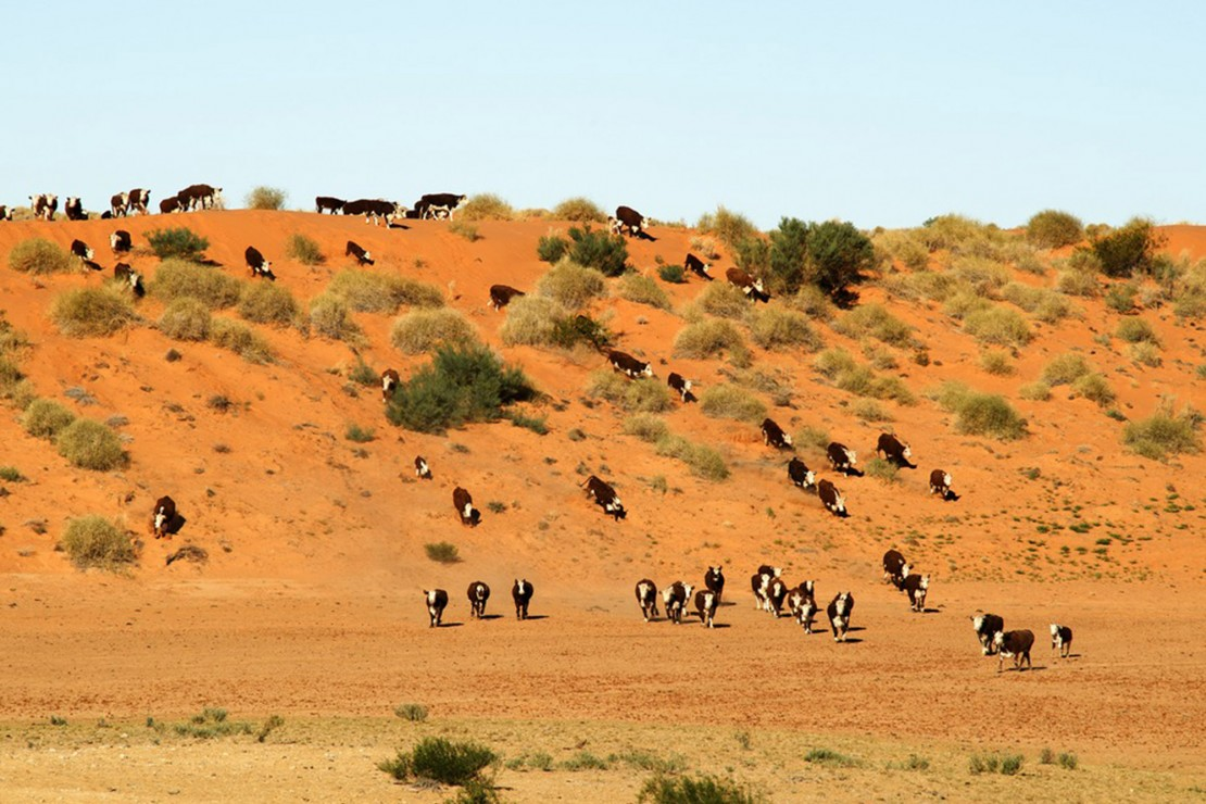 Cows running down a hill in the outback